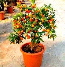 20pcs Miniature Kumquat seeds