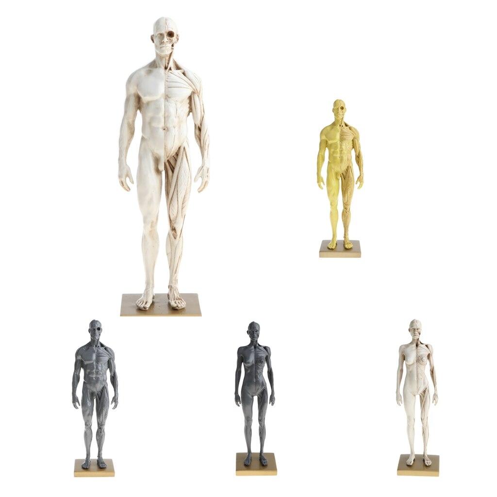 11 pulgadas macho/anatomía femenina figura modelo anatómico ...