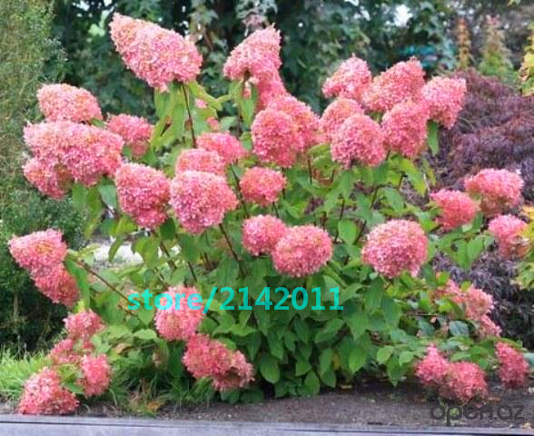 20pcs/bag Hydrangea seed, Hydrangea paniculata 'Vanilla Fraise', rare bonsai hydrangea flower seeds, potted plant for home garden
