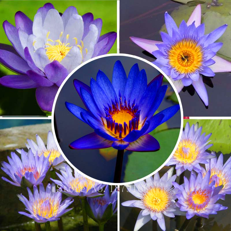 Popular blue water lilies buy cheap blue water lilies lots for Cheap pond plants