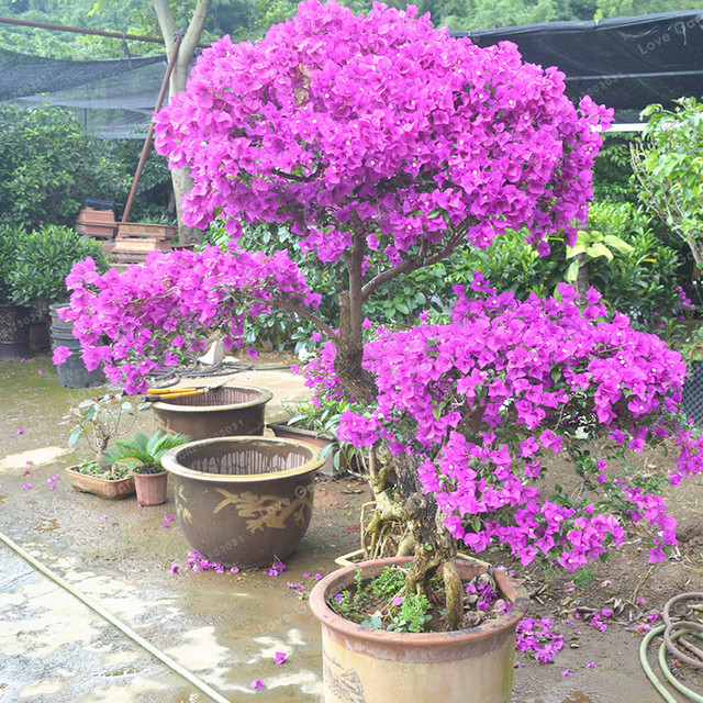 100 pcs purple bougainvillea glabra seeds spectabilis willd bonsai plant seeds bougainvillea