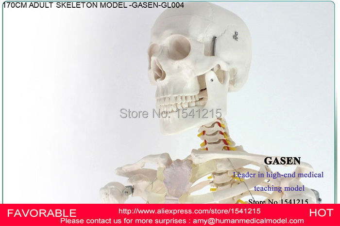 170CM HUMAN SKELETON MODEL  ANATOMICAL MEDICAL SKELETON MODEL  BODY MEDICAL  HUMAN SKELETON SKELETON SPECIMEN MODEL -GASEN-GL004 human anatomical male body integral skeleton organ skin medical teach model school hospital