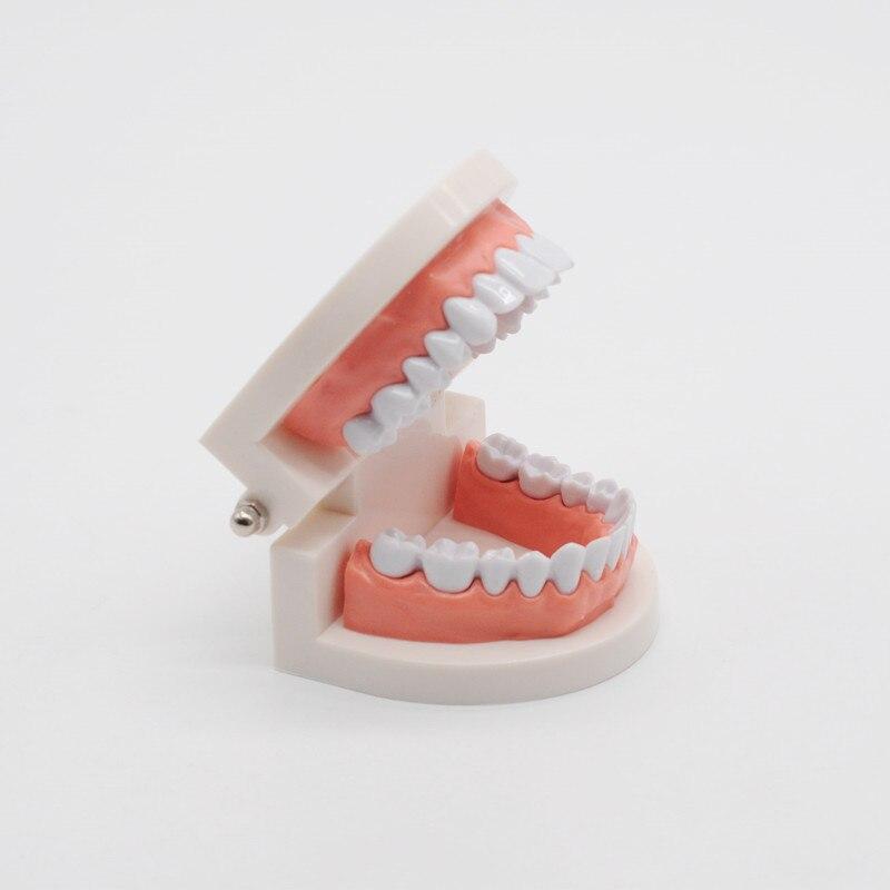Dentist Teaching Study Typodont Demonstration Tool Standard Adult Teeth Model