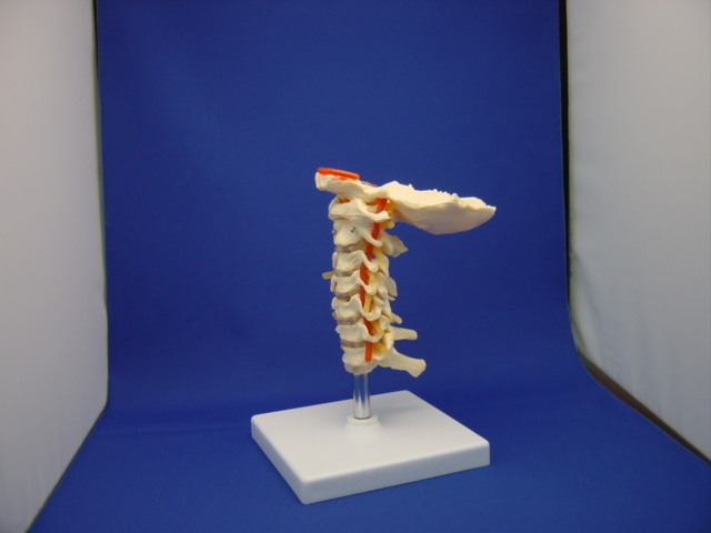 PVC Material It Can Be Use In Medical Teaching Esqueleto Hueso Humano Hot Skeleton Model Surgery MedicalGASEN-RZGL025