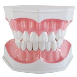 1 Шт. Профессиональный Стоматологическая Взрослых Образования Преподавание Зубы Модель с Зубов и Зубной Щетки