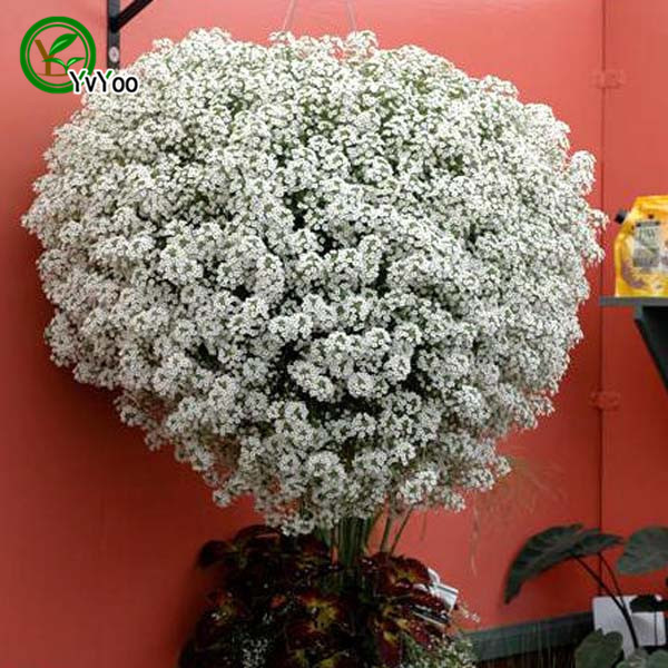 Attrayant Sweet Alyssum Seeds Flower Pot Planters Garden Bonsai Flower Seed 50  Particles / Lot H022