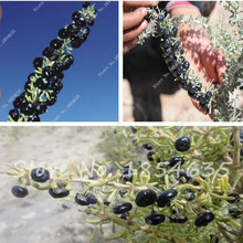 New Arrival!!! Wild 100 seeds/bag black wolfberry, Chinese wolfberry healthy tea,natural dried fruit,anti-aging organic green