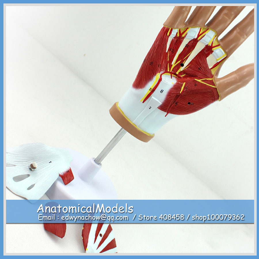ED-MUSCLE08 Life Size Human Hand Muscle Anatomy with 4 parts Movable ,  Medical Science Educational Teaching Anatomical Models human hand joint life size bone skeleton anatomical model medical anatomy for medical science teaching