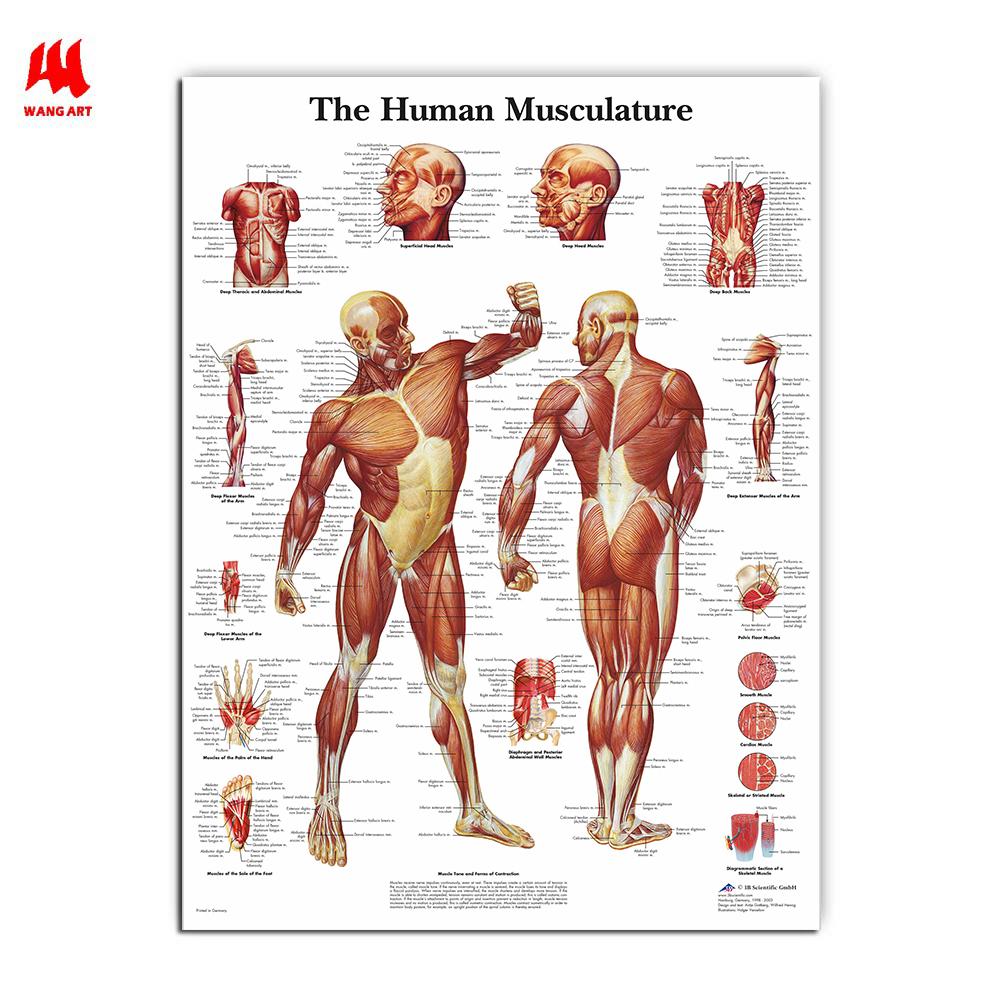 WANGART Human Anatomy Muscles System Art  Poster Print Body Map Canvas Wall Pictures For Medical Education Home Decor JY0717