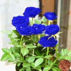 50 шт./пакет Роза бонсай Буле роза так, очаровательный бонсай цветок бонсай редких и драгоценных Многолетние цветы растений для дома сад