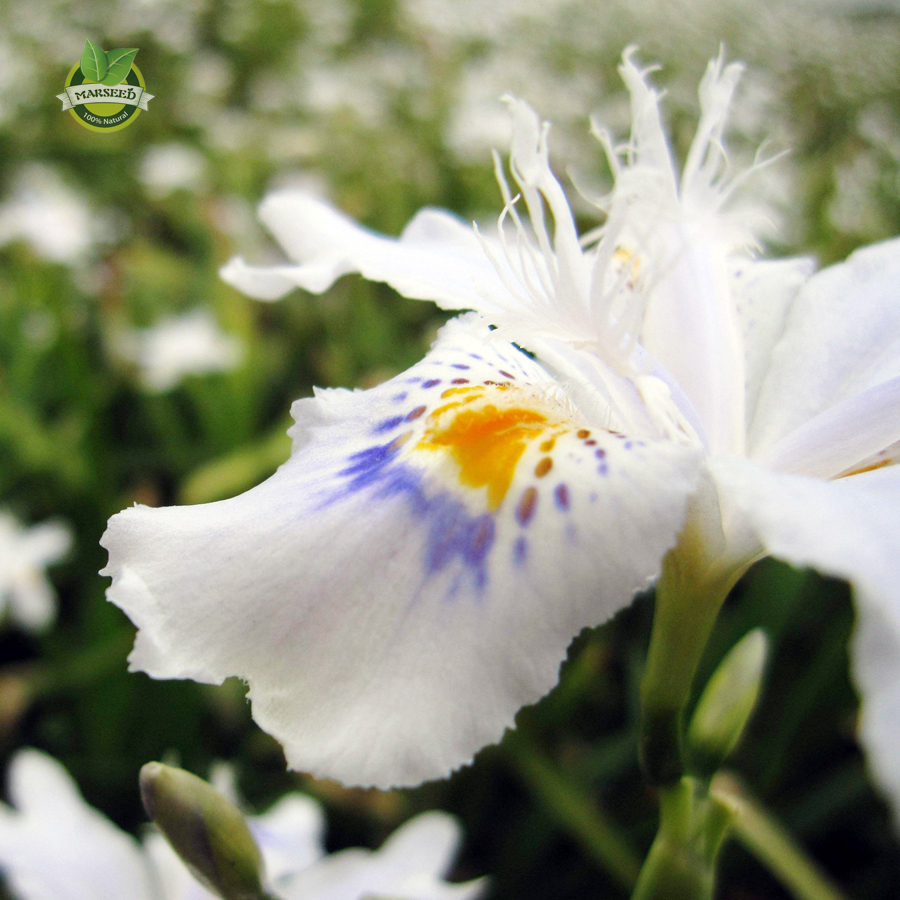 Free shipping 5 white iris seeds beautiful perennial cut Beautiful plants for home