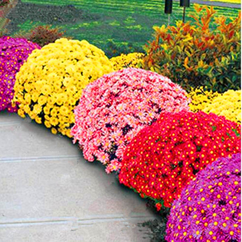 100pcs/bag Ground-cover chrysanthemum seeds, chrysanthemum perennial bonsai flower seeds daisy potted plant for home garden sup