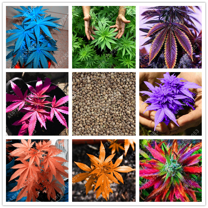 100 pcs bag Japanese Rainbow Hemp Seeds Rare Flower Seeds Bonsai Hemp Plants seeds vegetables herb For Home Garden pot