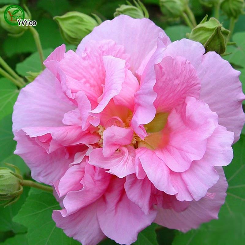 intérieur hibiscus plantes-achetez des lots à petit prix
