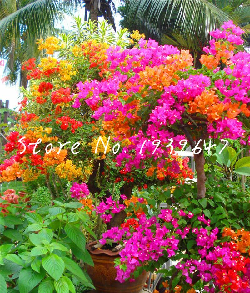 Vendita calda! 100 pcs Bonsai Bougainvillea Spectabilis giardino Sementes De Flores Perenne Piante da fiore Bonsai plantas