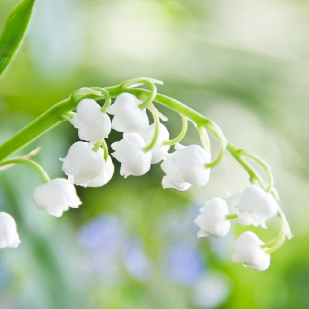 20 Pcs Lily Of The Valley Flower Seeds Bell Orchid Seedsrich