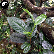 Buy Pu Erh Tea Tree Seeds 60pcs Plant Chinese Puer Tea Tree For Yunnan Pu Er(China)