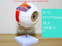 Eyes Teaching equipment medicine ophthalmology Medical Anatomy Eyeball model 6 times GASENXX 007