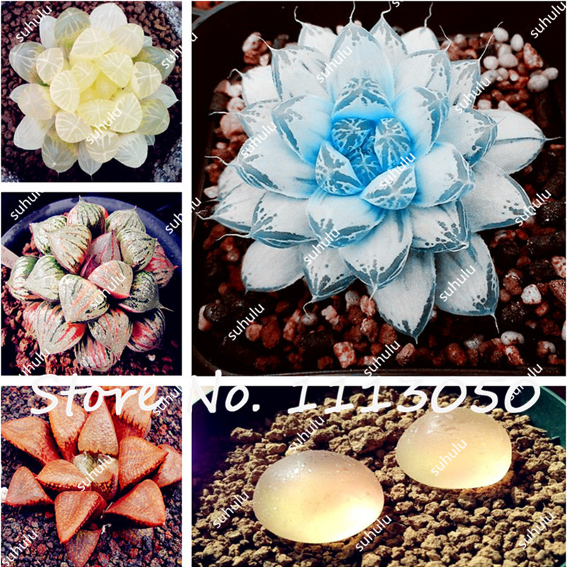 100 Pcs/Bag Lithops Seed Succulents Raw Stone Cactus Seeds Beautiful Blue Lithops Seeds, Easy To Grow, the Budding Rate 97%