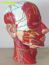 SHUNZAOR Human skull with muscle and nerve blood vessel, head section brain, human anatomy model. School medical teaching.