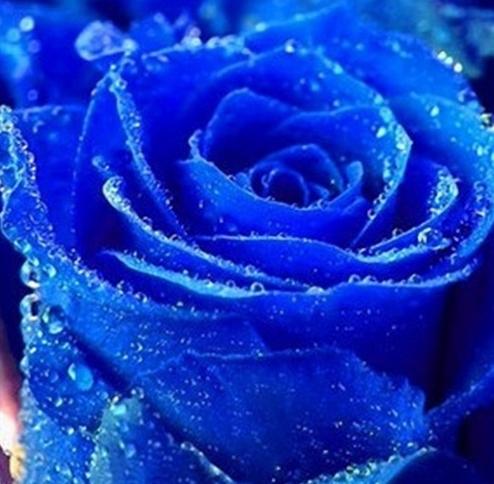 100 piezas raras Holanda arcoíris Rosa flor bonsái hogar jardín raro planta de flores semillas 24 colores Arco Iris Rosa flores