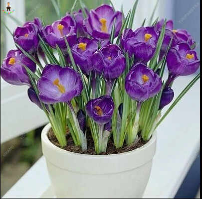 20 ピースレアサフラン植物美しい虹サフラン庭の花高生存率盆栽木の庭の装飾