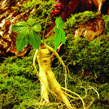 Chinese hardy Panax Ginseng Korea Ginseng seeds quality american ginseng, physical fitness, King of Herbs – 6 pcs