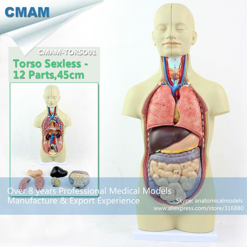 CMAM TORSO01 Asexual Torso 12 Parts 45 cm Alto Modelo de Anatomía ...