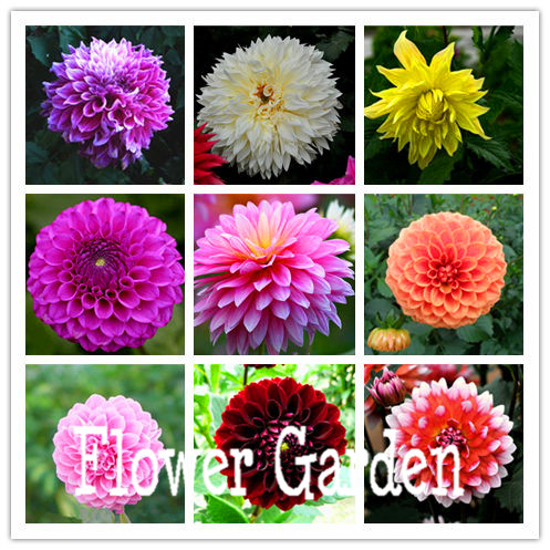 Bonsai dalia, patata dolce Dalia flower garden, 24 colors mix-pcs / bag 100, # MF9Y53