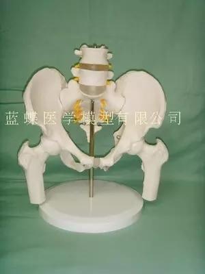 Bassin féminin avec deux vertèbres lombaires modèle squelette humain modèle bassin modèle fémur lombaire