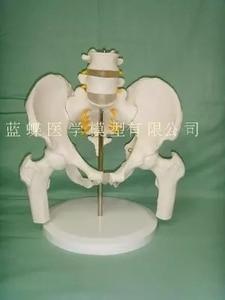 Image 1 - Female pelvis with two lumbar vertebrae model human skeleton model pelvis model lumbar femur