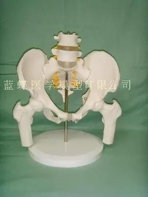 Kadın pelvis iki lomber vertebra modeli insan iskelet modeli pelvis modeli bel femur