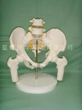 Vrouwelijke bekken met twee lendenwervels model menselijk skelet model bekken model lumbale dijbeen