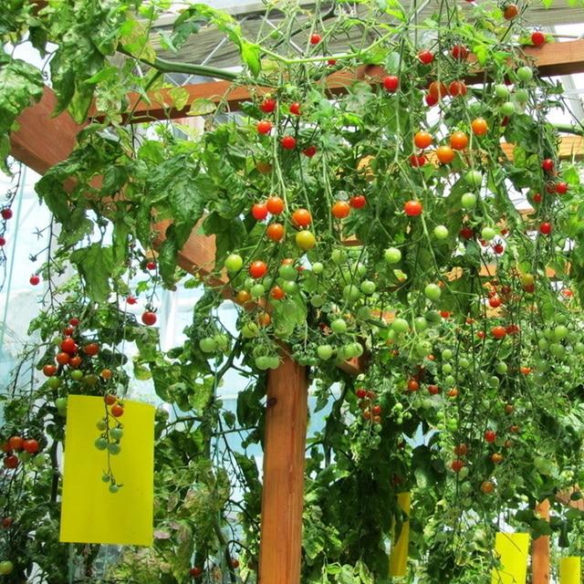 200 samen tomaten baum samen balkon garten obst gem se samen vier jahreszeiten pflanzen in 200. Black Bedroom Furniture Sets. Home Design Ideas