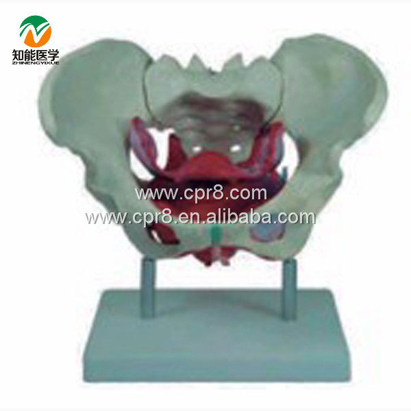 BIX-A1025 Female Pelvis Model, With Pelvic Floor Muscle G023 gastric anatomy model chinon bix a1045 wbw266