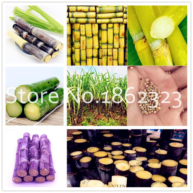 100 pz di Canna Da Zucchero bonsai Happy Farm Canna Da Zucchero Perenne Bonsai P
