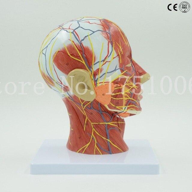 Freies Verschiffen Kopf und hals oberflächliche neuronale modell ...