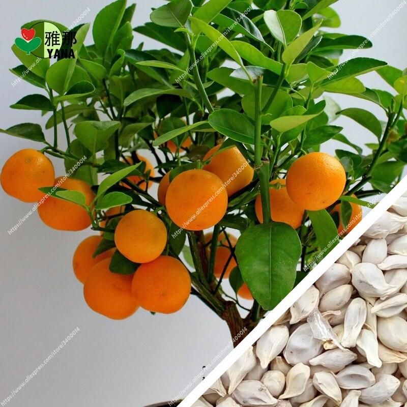 ツ)_/¯20 unids/bolsa naranja planta comestible Bonsai de frutas ...