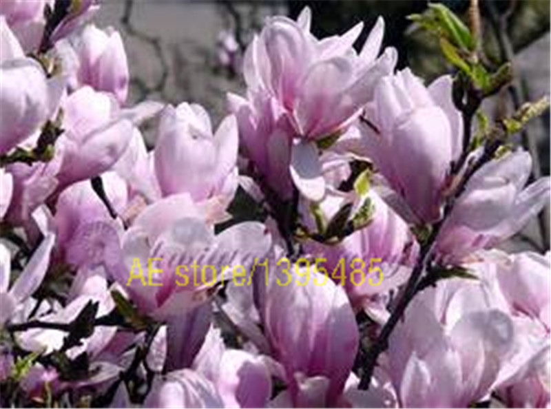 30 PCS COLOR Yulan Magnolia Tree Flower Seeds bonsai tree flowers seed for home garden planting