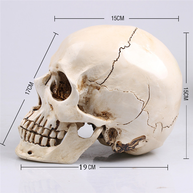 Painting  Skull Albuginea White Embryo Resin Model Medical Realistic Lifesize 1:1 Art Teaching Human SkullPainting  Skull Albuginea White Embryo Resin Model Medical Realistic Lifesize 1:1 Art Teaching Human Skull