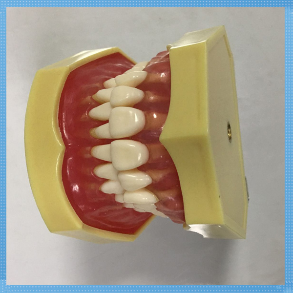 Sino Ortho high quailty dental teeth anatomical model plastic dental model of teeth teeth mold plastic/Dental Teeth Model dissected model of teeth tissue dental care model