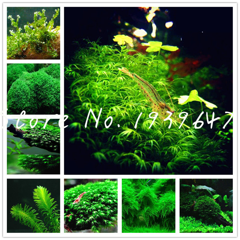 1000 Pcs/bag Hot Pellia Java Fish Tank Aquatic bonsai For Live Fish Moss Fern Aquarium Plant Landscape Decoration Ornament grass