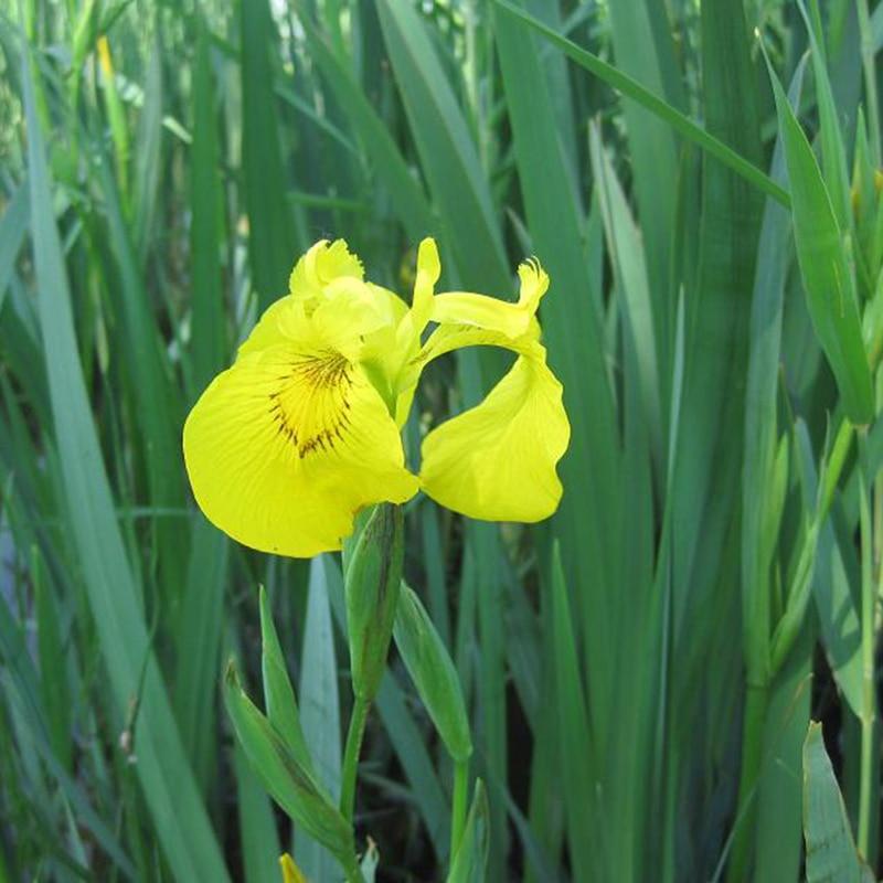 Aliexpress.com Comprar Unique 100 Unidades Color Amarillo Iris Semillas de Orquídeas En Maceta Plantas Perennes Semillas de Flores Semillas de Orquídea