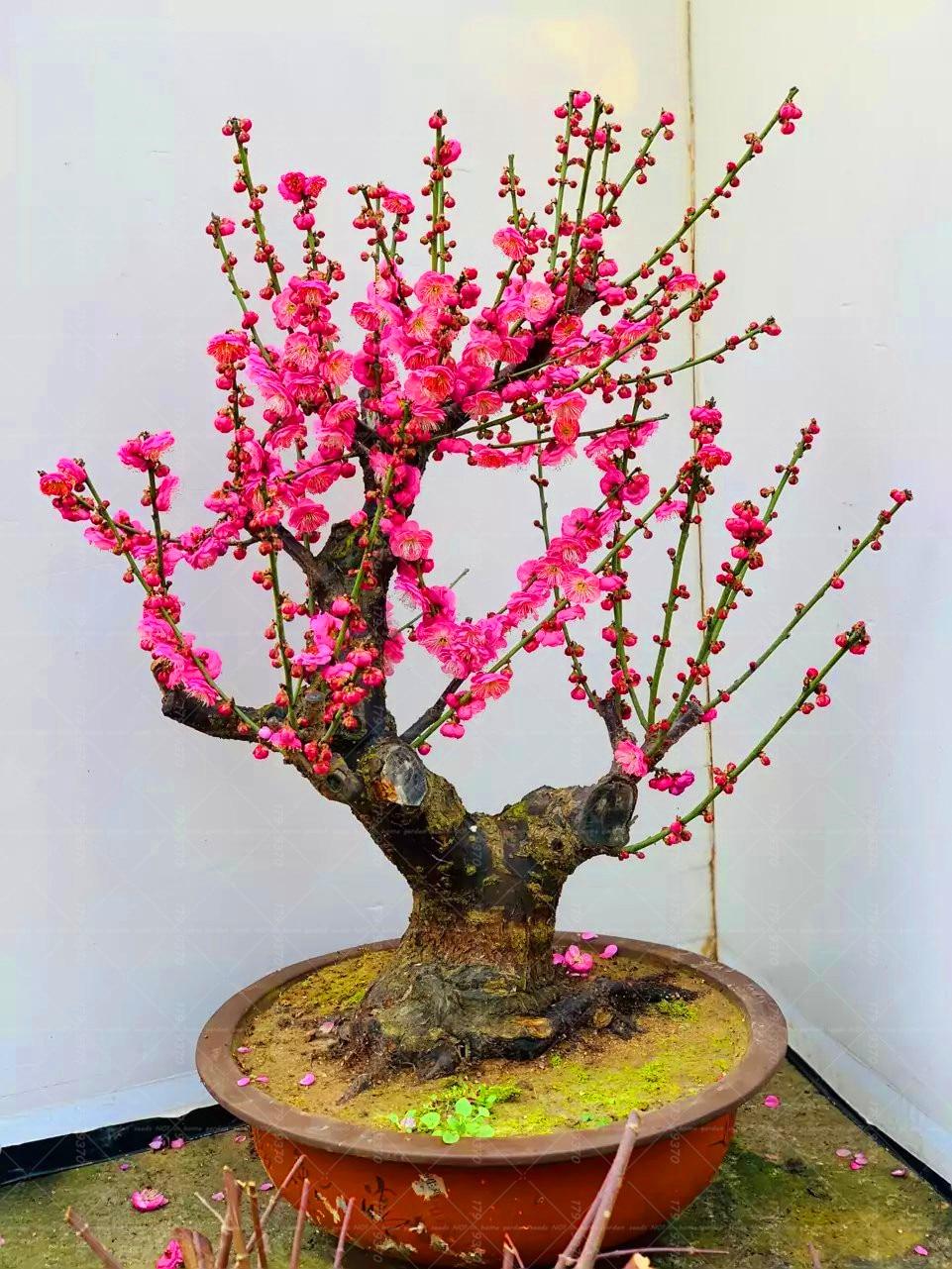 Aliexpress Com Buy 10 Pcs Plum Blossom Bonsai Pink