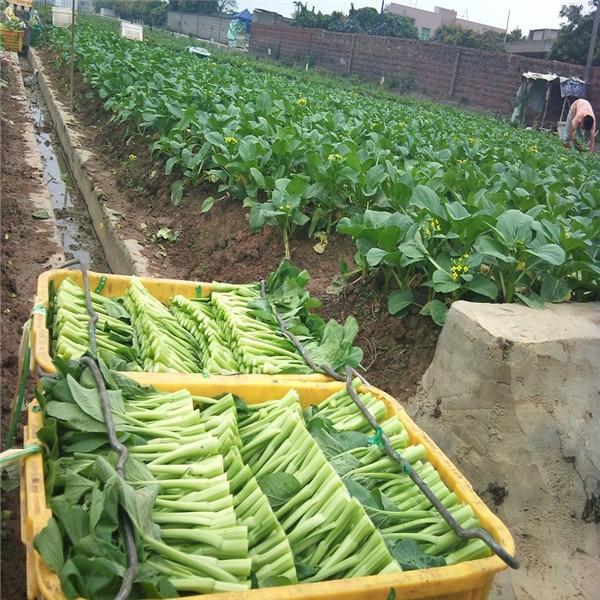 100 Pcs Brassica Rapa Chinensis Bonsai Chinese White Cabbage High Yield Four Season Variety DIY Home Garden NON-GMO Vegetable
