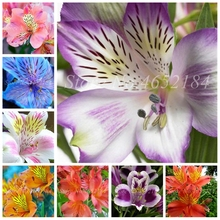 100 pcs/ bag Bonsai Hot Peruvian Lily Potted Alstroemeria Flower Mix-Color Beautiful For Home Garden Plants Free Shipping
