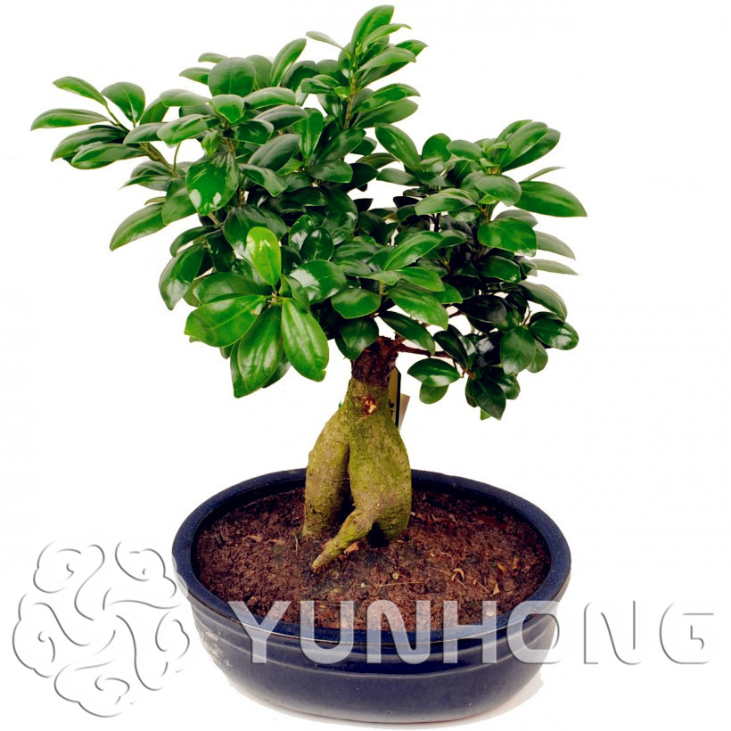 bonsa ficus arbre achetez des lots petit prix bonsa ficus arbre en provenance de. Black Bedroom Furniture Sets. Home Design Ideas