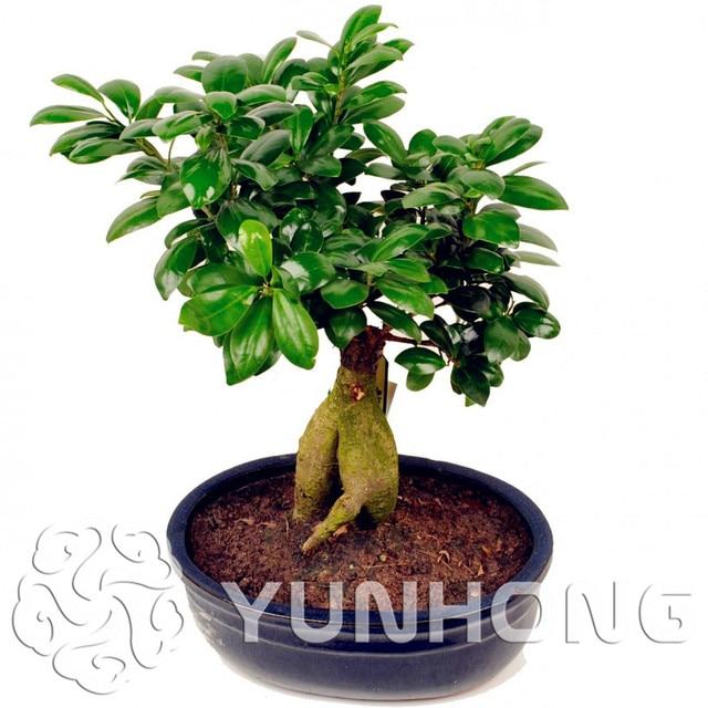 Hot 50pcs Banyan Tree Bonsai Ficus Ginseng Plant Bonsai Tree For