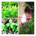 600 unids/bolsa Japonés Semillas de Stevia, Semillas de Hierbas Verdes, Stevia pequeñas semillas del árbol, rebaudiana Semillas para la Plantación de Jardín, enviar regalo