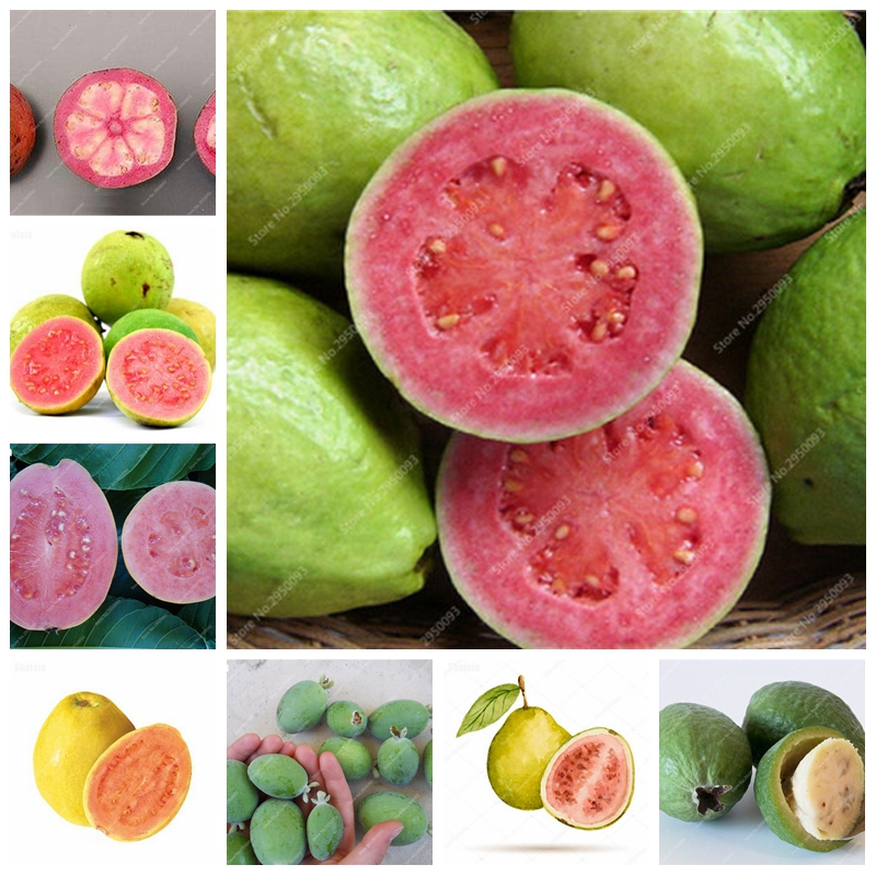 US $0 12 75% OFF|Rare Guava Bonsai Delicious Tropical Oganic Fruits Plant  Non Transgenic Potted Plants Home Garden Planting Easy Grow 1000 pcs-in